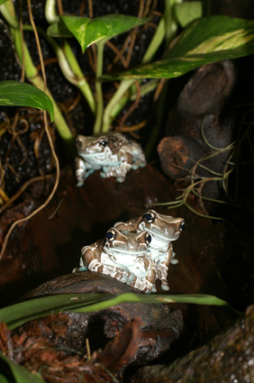 Frogs av Amazon