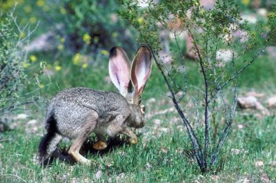 Svart-tailed Jack Rabbit Fakta for Kids