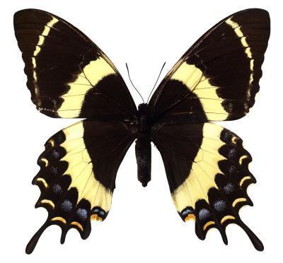 Hva Swallowtails Spis Do?