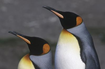Penguins i Tundra Biom