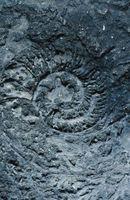 5 Type Fossiler funnet i Rock