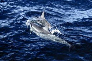hvor stor er en delfin penis