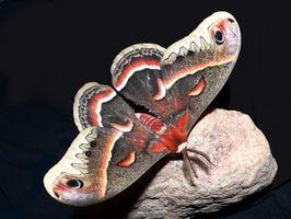 Life Cycle av en Moth