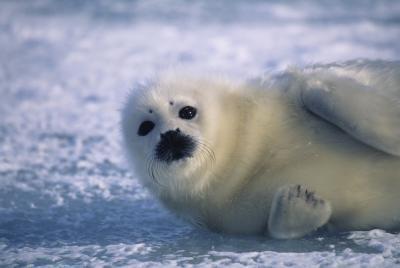 Ulike arter av Seals