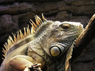 Hvordan bygge en Iguana Terrarium