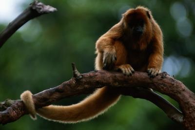Hva er en Howler Monkey?