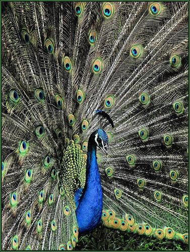 Formålet med fuglehalefjær