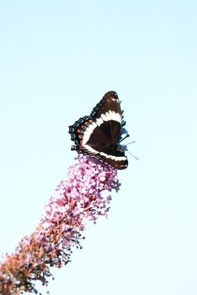 Hvordan identifisere Black Butterflies med hvite kanter