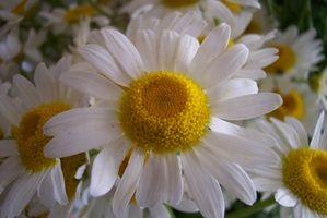 Daisy Wedding Bouquet Ideer
