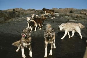 Hva slags Wolves Live på Mt. McKinley?