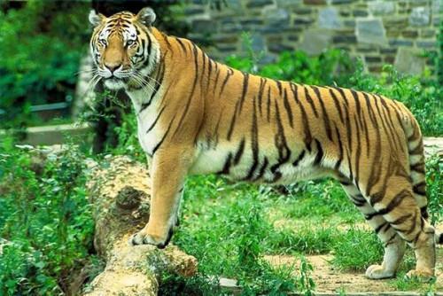 Hvordan Tigers Kommun Do?