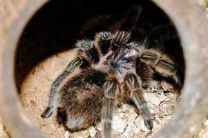 Giftige edderkopper i Kina