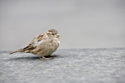 Hvordan gjenkjenne en fugl av Sound