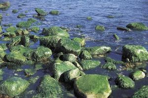 PH alkalitet for voksende alger