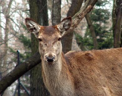 Hvordan Paint en Deer Skull