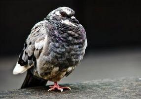 Slik hindrer Birds Fra kvitter All Night Long