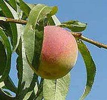 Hvordan Grow Peach Trees fra Peach Pits