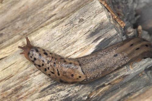 Fakta om Spotted Leopard Snegler