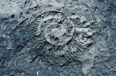 Hvilken type bergarter Fossiler bevart i?