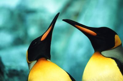 Forskjeller mellom de Male & Female Emperor Penguins