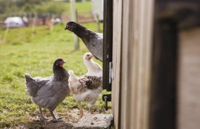Hvordan Kill & Process Chicken