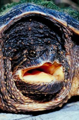 Hvordan holde Festing Turtles Out of My Pond