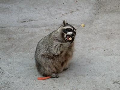 Hvordan bygge en Raccoon Box Trap