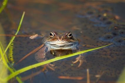 Typer av nordamerikanske Vann Frogs