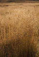 Klima beskrivelse av den tempererte Grass