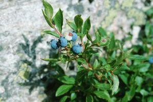Hvordan identifisere Spiselige bær