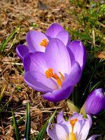 Primær Deler av en blomst