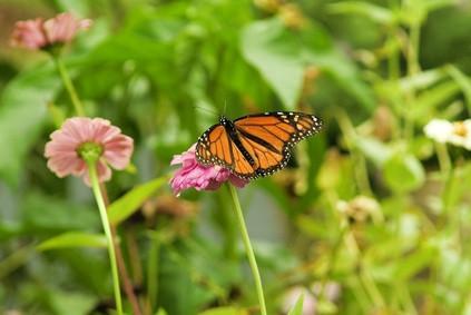 Fakta om Nord-Carolina Monarch Butterflies