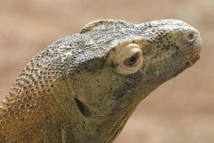 The Komodo Dragons naturlige habitat