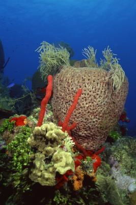 Typer Svamper i phylum Porifera