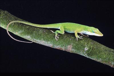 Lizards i regnskogen
