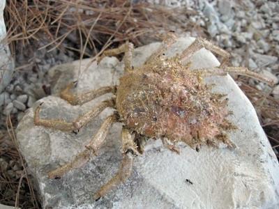 Hvordan finne en Stone Crab