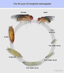The Life Cycle av Drosophila