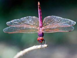 Hvordan Grow Dragonflies