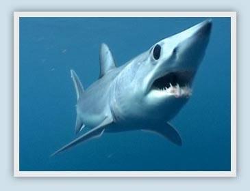 Hvor fort en Shark Swim?