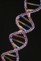 Forskjellen mellom et allel og et transgen