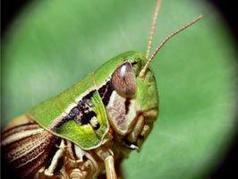 Reproduktive vaner med Grasshoppers