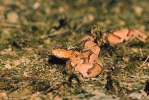 Beskrivelse av Copperhead Snake