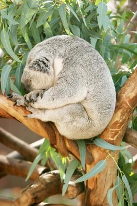 Australske Tropical Savanna Planter