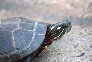 Type Små Turtles i Lakes of Southeast Wisconsin