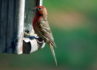 Hvordan tiltrekke Finch fugler til en Finch Feeder