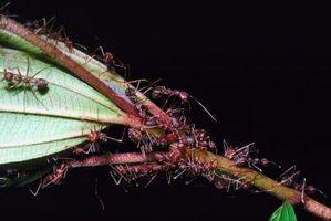 Hvilken type Ant Eats termitter?