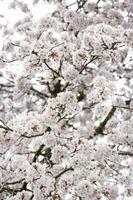 Hvordan Grow Cherry Trees Fra Cherry Pits