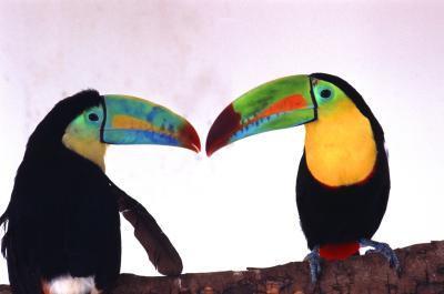 Hva Naturlige Events & Human Behavior Påvirke Toucan?