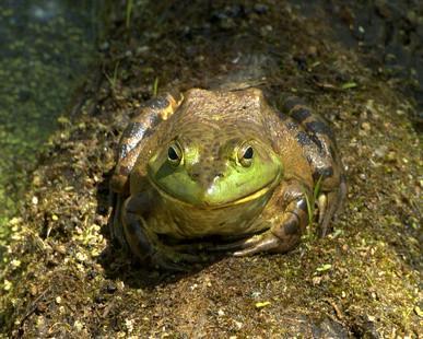 Fakta om Bullfrogs