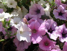 Tilpasninger av blomstrende planter